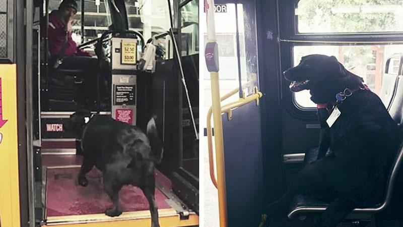 Jeżdżenie koleją to już przeżytek, poznajcie psa, który jeździł autobusem!