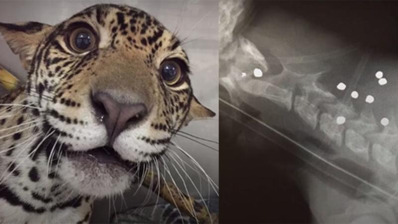 Domorośli myśliwi urządzili sobie polowanie na dzikiego zwierza. Ich ofiarą padł młody jaguar, któremu wpakowali 18 kul i sparaliżowanego zostawili w lesie