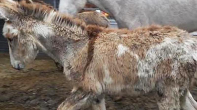 Prowadzili konia do rzeźni, gdy nagle na ich drodze pojawiła się grupka osłów. To, co zrobił zwierzak, aby się uratować jest nieprawdopodobne!