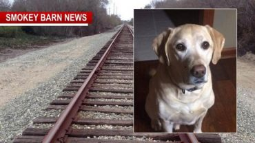 Buddy, bohaterski labrador dał się potrącić pociągowi, żeby uchronić ganiające wokół torów szczeniaki. O dziwo pies cudem przeżył bliskie spotkanie z lokomotywą!