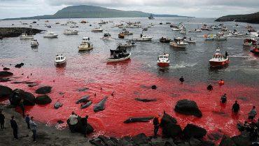 Wyspy Owcze niedługo znowu spłyną krwią. Takiej potwornej rzezi nie zobaczysz nigdzie indziej!