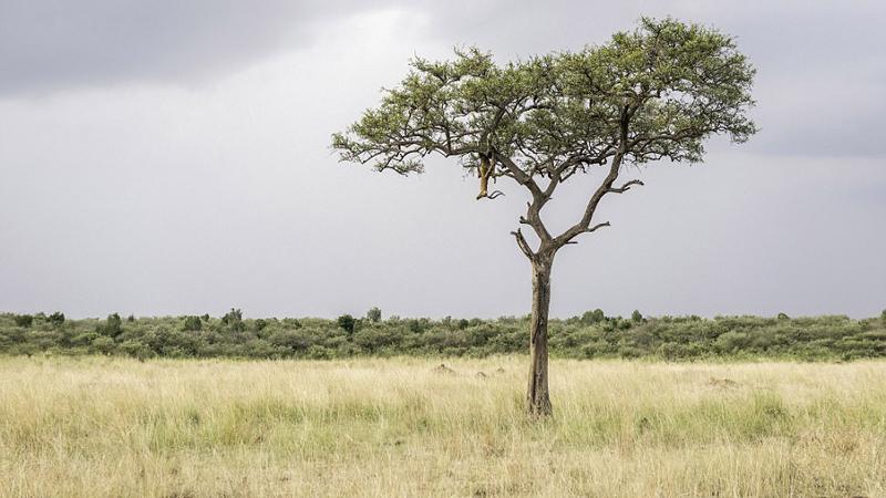 Kiedy zastanawiasz się, co robi antylopa na drzewie, on już jest obok ciebie. Widzisz lamparta na zdjęciu?