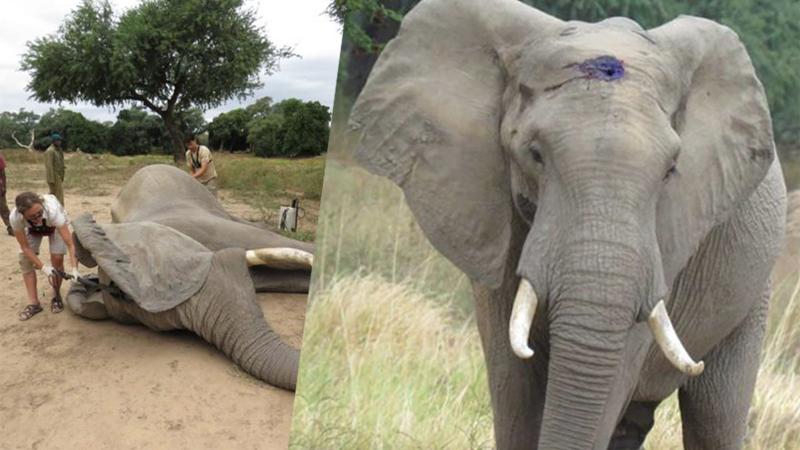 Ten słoń przeżył atak kłusownika. Życie okupił jednak straszliwym bólem i czymś, z czym weterynarze nigdy nie mieli do czynienia