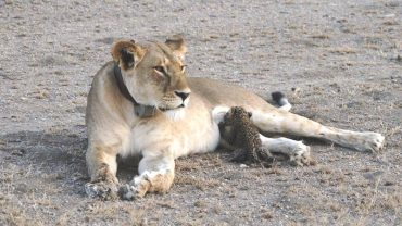 Lwica adoptowała małego lamparta! To pierwszy udokumentowany przypadek w historii, by dzikie zwierzę adoptowało malucha innego gatunku