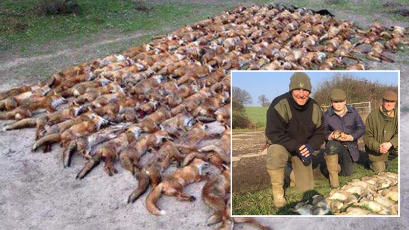 """""""Ktoś mnie pobije?"""" - spytał wyzywająco myśliwy, pozując z 100 zabitych lisów. Ma się czym chwalić?"""
