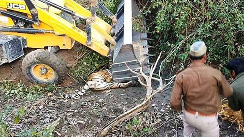 Grupa mężczyzn chciała złapać tygrysa. Gdy środki nasenne nie podziałały, zwierzę próbowano schwytać koparką! Dziki kot skonał w męczarniach