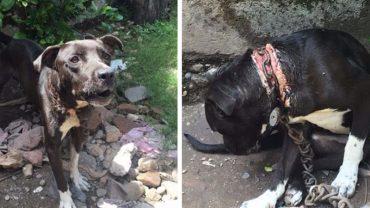 Uważał, że miejsce psa jest na łańcuchu, dlatego od lat nie zdejmował go z szyi czworonoga. Uciskający metal doprowadził do ran odsłaniających mięśnie!
