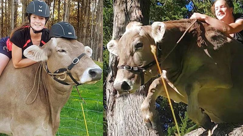 Rodzice nie chcieli kupić jej konia, skakać przez przeszkody nauczyła więc krowę! Na jej grzbiecie jeździ już parę lat i ani myśli przestać!