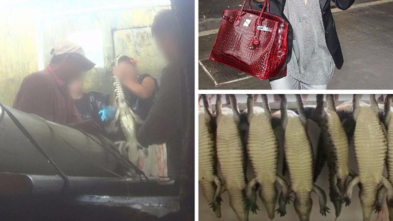 Za luksusowymi produktami z krokodylej skóry marek Birkin i Hermes, stoi niewiarygodne cierpienie zwierząt. Zdjęcia z farm i uboju zwierząt wstrząsają