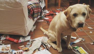 Uważacie, że wasz pies okazuje poczucie winy gdy coś nabroi? Behawioryści zdradzają prawdę o skruszonych psach z podkulonym ogonem