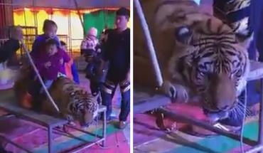 Pracownicy cyrku związali tygrysa do granic możliwości tylko po to, by widzowie mogli robić sobie zdjęcia na jego grzbiecie! To bestialstwo!