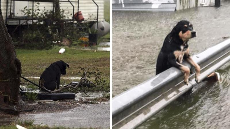Dziesiątki Teksańczyków uciekając przed powodzią przywiązywało swoje psy do drzew, skazując je tym samym na śmierć! Czy walka z żywiołem usprawiedliwia takie zachowanie?