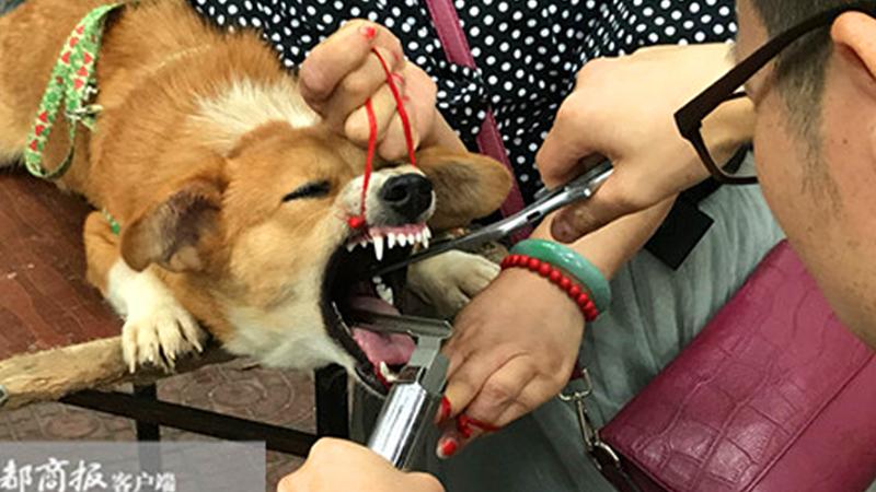 Aby uspokoić szczekające psy, podcinają im struny głosowe! Skala problemu jest ogromna