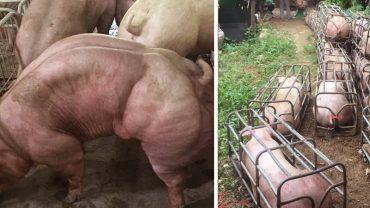 Przerażające GMO! Te zmodyfikowane super świnie w niczym nie przypominają zwyczajnych osobników