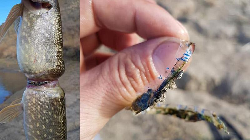 Gdy wędkarz wyłowił tę rybę, szybko zrobił jej zdjęcia, by pokazać do czego doprowadza ludzka głupota i brak szacunku dla przyrody!