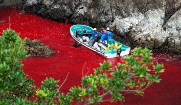Nie tylko Wyspy Owcze spływają krwią niewinnych stworzeń. W japońskiej zatoce Taiji mordy na zwierzętach są jeszcze okrutniejsze