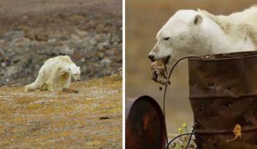 To rozdzierające serce wideo o głodującym niedźwiedziu polarnym brutalnie pokazuje, jak globalne ocieplenie niszczy dziką przyrodę