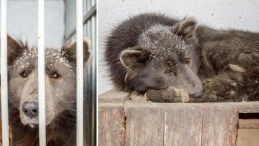 Kiedy znaleziono to tajemnicze zwierzę, nikt nie wiedział, czy to jeszcze pies, czy już niedźwiedź. Prawda okazała się bardzo bolesna