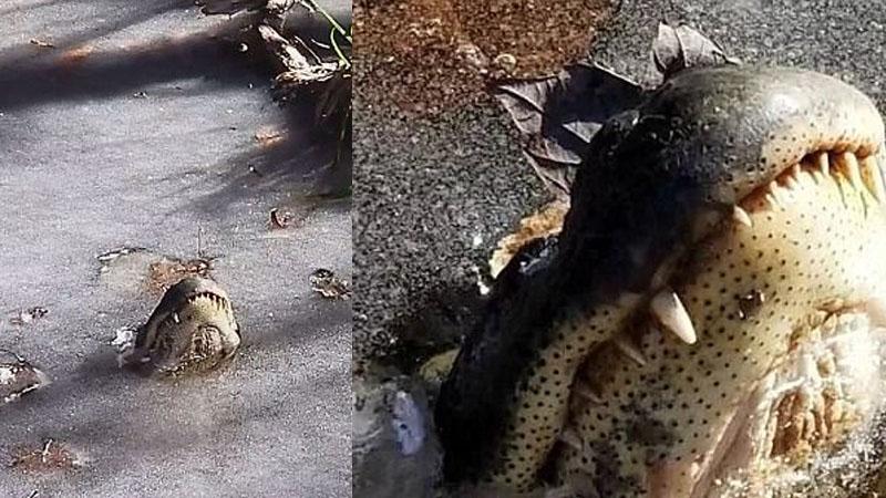 Mężczyzna nagrał, w jaki sposób aligatory radzą sobie z mrozami w Karolinie Północnej, trzeba się dobrze przyglądnąć, by zobaczyć drapieżniki