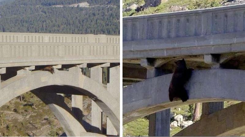 Niedźwiedź chciał przejść przez most, ale spadł i zawisł na dolnym przęśle. Dzielne zwierze wytrzymało tak ponad 24 godziny!