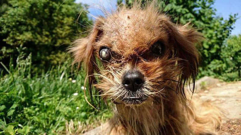 Wszyscy tego biedaka omijali szerokim łukiem, a wiele osób nie wierzyło, że to pies. Dopiero pomoc dobrych ludzi dała mu szansę i wydobyła jego prawdziwe piękno