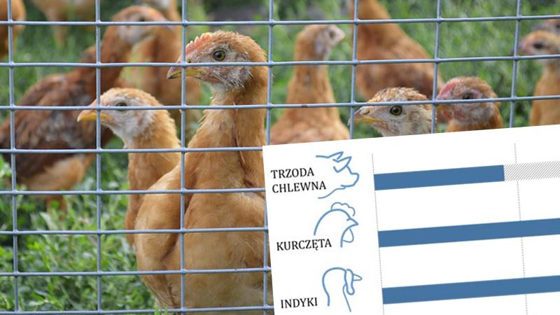 NIK skontrolował hodowle zwierząt, ilość podawanych antybiotyków jest alarmująca. 80% farm nie wyobraża sobie pasz bez leków i wspomagaczy!