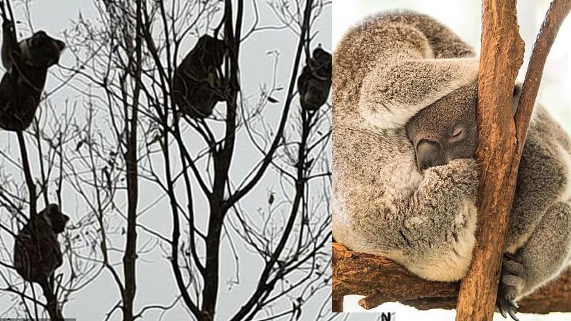 Wystraszone koale weszły na ostatnie drzewo, które zostało w okolicy! Ta fotografia wyciska łzy z oczu