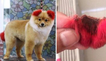 Chciała, aby jej pies wyglądał słodko. Konsekwencje farbowania okazały się tragiczne! Zwierzakowi odpadło ucho…