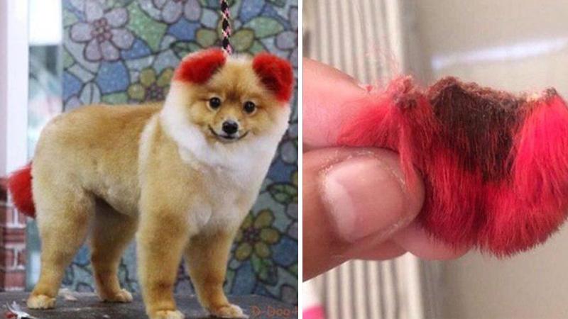Chciała, aby jej pies wyglądał słodko. Konsekwencje farbowania okazały się tragiczne! Zwierzakowi odpadło ucho...