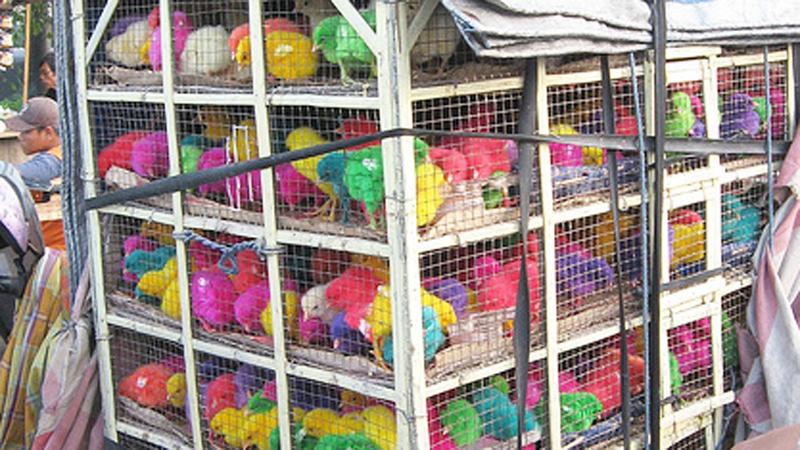 Okrutny proceder farbowania kurcząt na Wielkanoc! Powiedzmy STOP temu barbarzyństwu