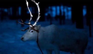 W Finlandii malują rogi reniferów farbą odblaskową. Mają ku temu dobry powód
