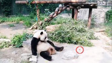 Znudzeni ludzie rzucali kamieniami w śpiącą pandę! Chcieli w ten sposób urozmaicić sobie wizytę w zoo