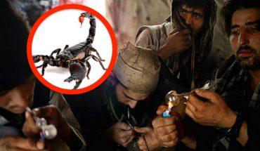 Polują na skorpiony, żeby napchać nimi fajki i lufki. Od ich palenia można się uzależnić