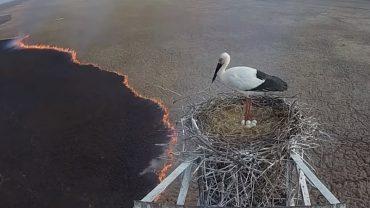 Pożar trawił wszystko wokół, ale bocian nie opuścił gniazda. Chciał ochronić młode przed ogniem