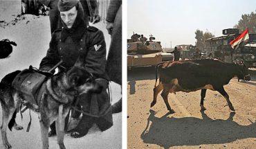 Żywe bomby w postaci psów, delfiny kamikadze, pasy szahida na krowach – zwierzęta są marionetkami w naszych wojnach!