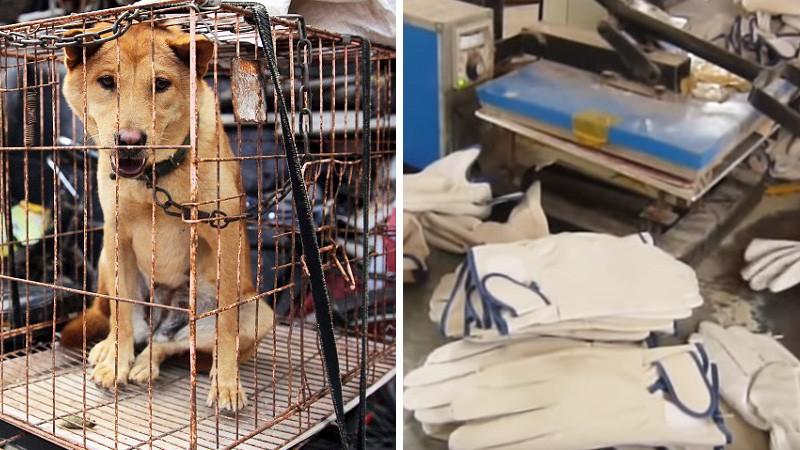 Chińczycy zdzierają z psów skóry i robią z nich rękawiczki! Wyroby są importowane na cały świat