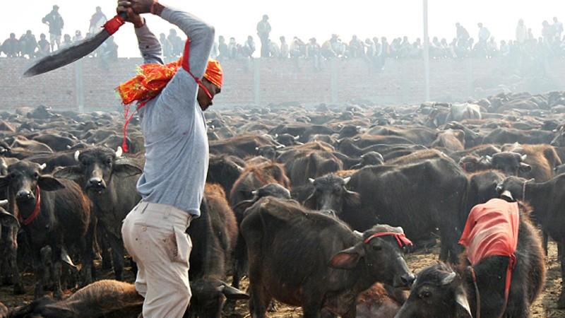 Rozpoczął się największy na świecie MORD ZWIERZĄT. Festiwal Gadhimai zbiera śmiertelne żniwo